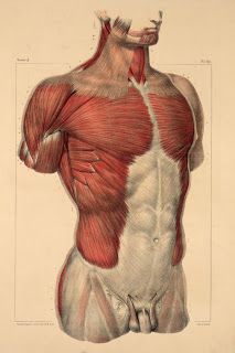 "senjukannon: "" Anatomical illustrations of the torso and upper body, showing musculature, skeletal structure, blood vessels, connective tissue (and so on) by Nicolas-Henri Jacob for Jean-Baptiste Marc. Human Anatomy Drawing, Drawing Body Poses, Human Body Anatomy, Anatomy Study, Anatomy Art, Life Drawing, Drawing Faces, Drawing Tips, 3d Anatomy Model"
