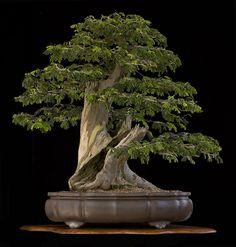 Galeria #bonsaitrees
