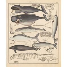Vintage Poster Print Wall Art Whales History of Evolution Process Skeleton Chart Retro Poster, Kids Poster, Vintage Posters, Canvas Art Prints, Wall Art Prints, Poster Prints, Nursery Canvas Art, Whale Painting, Animal Skeletons
