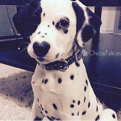 27 funny baby animals cute puppies, dalmatian puppies, dogs and puppies, doggies, Cute Baby Animals, Funny Animals, Animals Dog, Wild Animals, Safari Animals, Cute Puppies, Dogs And Puppies, Doggies, Dalmatian Puppies