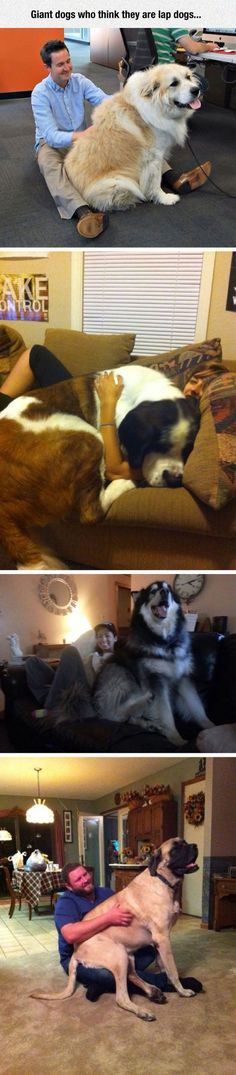 Huge Dogs Who Think They're Still Puppies