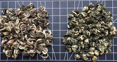 Comparing two same green tea Bi Luo Chun in different years of harvest ( 2017 vs 2018 ). Observing visual differences and comparing taste characteristics within individual steepings. Evaluating the weather conditions influencing the tea quality. Wholesale Tea, Tea Blog, Spring Green, Weather Conditions, Harvest, Stuffed Mushrooms, Food, Stuff Mushrooms, Essen