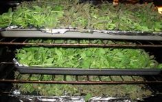 Trays of oregano drying in the oven