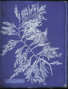 Atkins, Anna; cyanotypes of british algae  >> NYPL digital archive