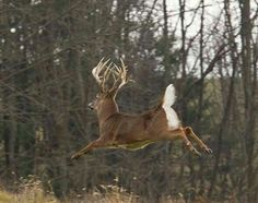 SEASONAL – SPRING – a time when you see more of the younger deer exploring the world for the first time, such as the whitetail bucks still looking for a fight, by charles alsheimer, sometimes the goal is to aim high.