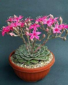 Cactus é uma planta suculenta, resistente à seca e com crescimento lento. Originalmente da América Central o cacto tem uma aparência p...