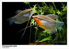 Pearl Gourami - The Pearl Gourami is a peaceful fish. It is one of the most attractive, hardiest, and easy-to-keep gouramis. They should not be housed with aggressive tank mates, like Cichlids. The water temperature should also be raised to 80°F. When breeding, the water level in the tank should be reduced to 4-5 inches. The Pearl Gourami is an omnivore and prefers both-algae based foods as well as meaty foods.