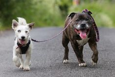 A blind Jack Russell has his very own seeing eye dog and best friend, a Staffordshire terrier who accompanies him everywhere.