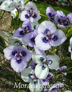 The Peacock Iris 'Moraea villosa' ~ HERITAGE IRISES