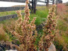 Hevonhierakka, Rumex longifolius Wildflowers, Finland, Weed, Natural Beauty, Scenery, Nature, Naturaleza, Landscape, Marijuana Plants