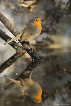 Beautiful Red Robin  by enzo cornaglia Jan, 2012