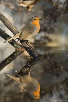 Erithacus rubecula.Robin Reflection.El petirrojo europeo.distribuido por toda Europa, principalmente en la región meridional y occidental del continente, donde habita todo el año, siendo migrante parcial en el norte de Europa y noroeste de África.
