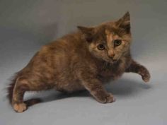 PEBBLES - A1097411 - - Staten Island  Please Share:***TO BE DESTROYED 11/26/16***ADORABLE HEALTHY 14 WEEK OLD KITTEN….SCARED…NEEDS SOCIALIZATION…CAME IN WITH WILMA & FRED…ALSO LISTED -  Click for info & Current Status: http://nyccats.urgentpodr.org/pebbles-a1097411/