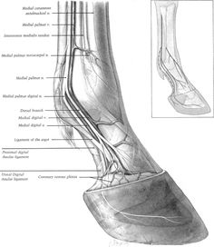 Practical Guide to Lameness in Horses Equine Massage Therapy, Horse Therapy, Horse Markings, Horse Exercises, Horse Care Tips, Horse Anatomy, Horse Facts, Horse Posters, Horse Sculpture