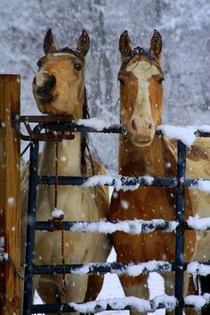 Pretty Dunn horse and paint horse standing in the snow behind a snow covered fence. Looks like they are waiting for dinner. Beautiful snow covered trees in the background.