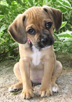 This little gal is a *Puggle* She is a Pug and Beagle cross and possibly the cutest thing ever!
