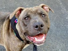 SUPER URGENT!!! TO BE DESTROYED 6/13/14 Manhattan Center -P  My name is CRICKET. My Animal ID # is A1002239. I am a male br brindle and white pit bull mix. The shelter thinks I am about 2 YEARS   I came in the shelter as a STRAY on 06/06/2014 from NY 11204, owner surrender reason stated was STRAY. https://www.facebook.com/photo.php?fbid=816888848323996set=a.611290788883804.1073741851.152876678058553type=3theater