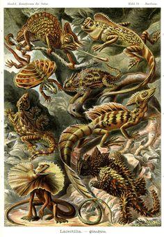Lacertilia by Ernst #Haeckel; Kunstformen der Natur, 1900 #lizard