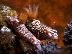 Underwater Photographer Marco Waagmeester's Gallery: Nudibranchs: Snakey Bornella - DivePhotoGuide.com