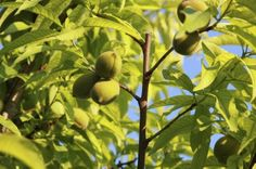 Peach Tree Thinning: How And When To Thin A Peach Tree -  Many backyard gardeners consider their peach trees to be strictly ornamental because of the poor crop they produce. This needn't be the case, though. Thinning fruits may be the answer. This article will help.