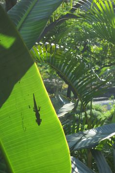 Lush, tropical Hawaiian plants with a bonus .. a little gecko was sunning itself on the other side of the leaf:)