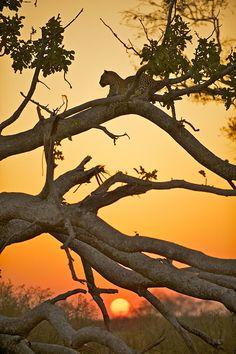 Leopards at Sunset - Sean Crane - Flickr.