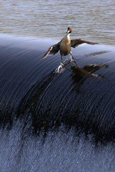 "Surfin' Bird!! ""Have you heard about the bird"""