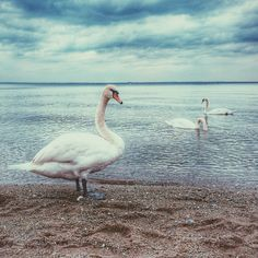 awesome Swan Lake on Pebble Beach with Clouds Wallpaper