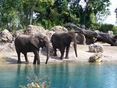 Animal Kingdom Safari Elephants.