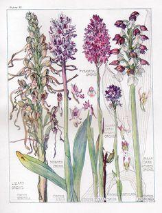 Botanical Print - Orchids- Isabel Adams - British Wild Flowers