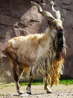 Markhor are a large species of wild goat that live in Afganistan and Pakistan. they are classified by the IUCN as endangered and there are fewer than 2,500 of the animals known to exist. The markhor is the national animal of Pakistan.
