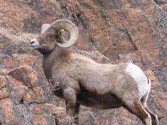Arax | Spirit Animals Wiki | Fandom Big Horn Sheep, Deer Art, Yellow Eyes, Wildlife Art, Photo Reference, Nature Animals, Spirit Animal, Rocky Mountains, Goats