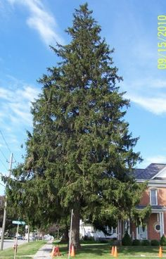 Front yard, possibly back Norway Spruce Zones: 2+ Grows 2-3 feet per year for the first 10-20 years