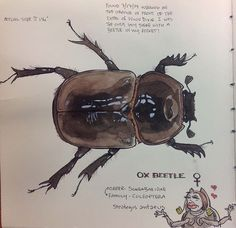 A female Ox Beetle from my Central Florida Natural History drawing book. Strategus antaeus.