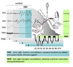 Figure 1. Sleep in the laboratory Sleep is monitored by polysomnography, including electroencephalography (EEG), electrooculography (EOG) and electromyography (EMG), which allows the differentiation of four NonREM (non-rapid eye movement) sleep stages (1 to 4) and REM sleep.