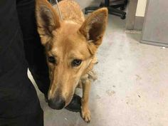 01/28/2018 SUPER URGENT ADOPT Golden/Chestnut German Shepherd mix dog for Adoption in Modesto, CA. ADN-779399 on PuppyFinder.com Gender: Female. Age: Young, Size Large.