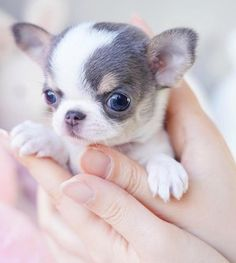 White Pomeranian Puppies, Chihuahua Puppies For Sale, Mini Puppies, Teacup Puppies For Sale, Teacup Dogs, Teacup Chiwawa, Tiny Puppies For Sale, Teacup Poodle Puppies, Teacup Pomeranian