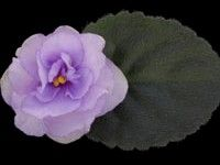 African violet - Cupid's Jewel -   An excellent bloomer which forms a perfect bouquet of pale plum, semidouble and double stars. The semiminiature flowers also boast of a darker shade of plum in the eye of each flower. The medium green, serrated foliage shapes nicely and is quilted.  AVSA Reg. #9520  (LLG)  https://www.facebook.com/llgreenhouses