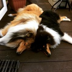 Like our Molly (tri) & King. I'm I've wanted a Collie my entire life. Collie Puppies, Collie Dog, Dogs And Puppies, Doggies, Dog List, Rough Collie, Herding Dogs, Shih Tzu Puppy, Shetland Sheepdog