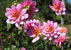 Chị em mê mẩn trồng hoa thược dược nhiều màu đón Tết - Hình 6