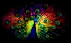 If you tamed Peter Max he might paint a peacock like this.
