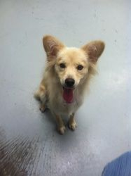 Shelly is an adoptable Shetland Sheepdog Sheltie Dog in North Vernon, IN. Very sweet baby girl that loves attention, this girl prefers to be with someone majority of the time....... Come out and adopt...