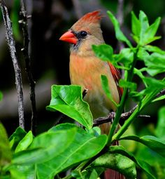 Female cardinal photographed in Florida
