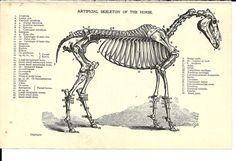 Horse Anatomy Labeled Illustration of Horse Skeleton. c1920's Black and White Illustration, Original Vintage Antique Book Plate. £3.99, via Etsy.