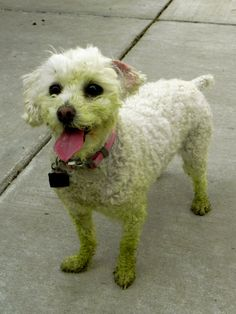 Green toy poodle from fresh cut grass! Super cute!