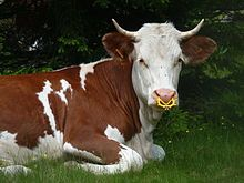 photos of cattle - Google Search