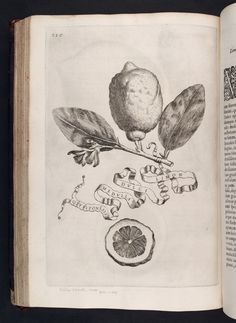 Image of 230 Illustration of LIMON DULCI MEDULLA OLYSIPONESIS