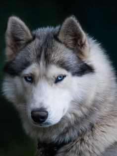 The blue-eyed husky Beautiful Wolves, Beautiful Dogs, Animals Beautiful, Shiba Inu, Akita, Baby Dogs, Dogs And Puppies, Wolf With Blue Eyes, Mountain Dog Breeds