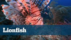 Florida Sport Fishing TV - Conservation Corner Lionfish Exotic Invasive ...