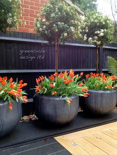 greencube garden and landscape design, UK: planting season, gardens in three counties almost finished and tulips everywhere!